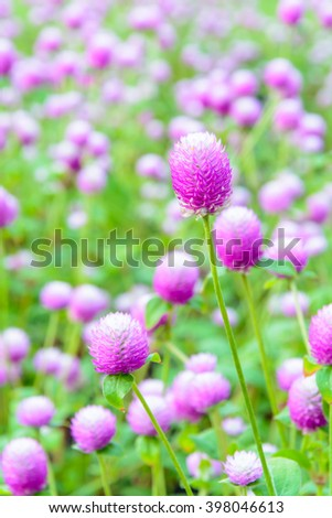 beautiful ball purple flower in park , selectivefocus