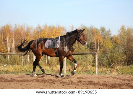 Beautiful bay horse trotting at the field in autumn