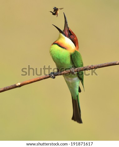 Beautiful Bee eater Bird (Chestnut-headed Bee-eater, Merops leschenaulti) catching insects to feed their young.