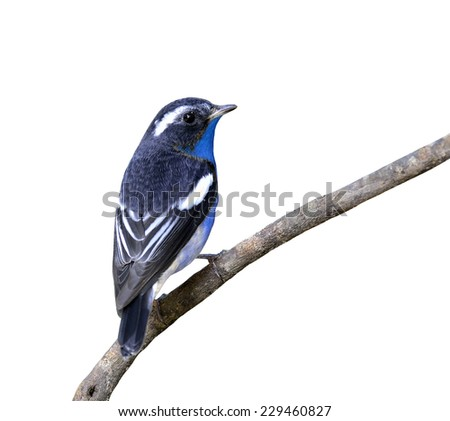 Beautiful bird blue bird perching on the branch isolated on white background