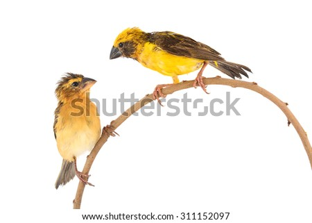 Beautiful bird, male and female ofAsian Golden Weaver (Ploceus hypoxanthus) perching on a branch isolated on white background