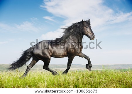 Beautiful black friesian stallion running trot on the field