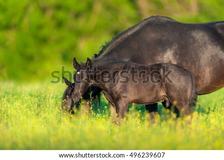 Beautiful black mare with colt on spring flower pasture