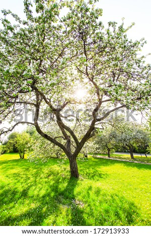 Beautiful Blooming Apple Trees Spring Park Stock Photo