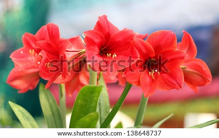 Beautiful Blossoms of red Amaryllis flower