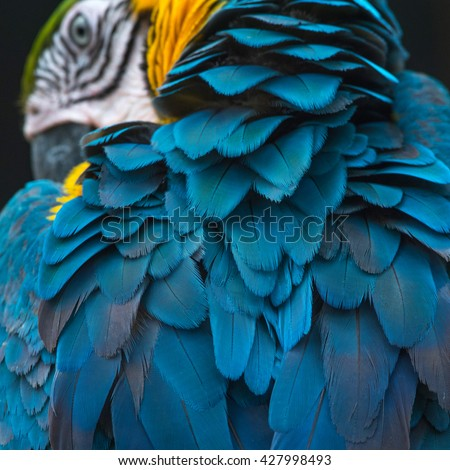 Beautiful Blue and Gold Macaw feathers