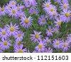 Beautiful blue flowers field - stock photo