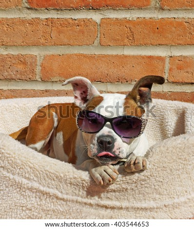 Beautiful brown and white bulldog cross dog wears his sunglasses and sticks out his tongue while he relaxes in his bed in the sunshine