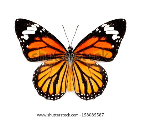 Beautiful Butterfly, Common Tiger Butterfly in natural color profile on white background