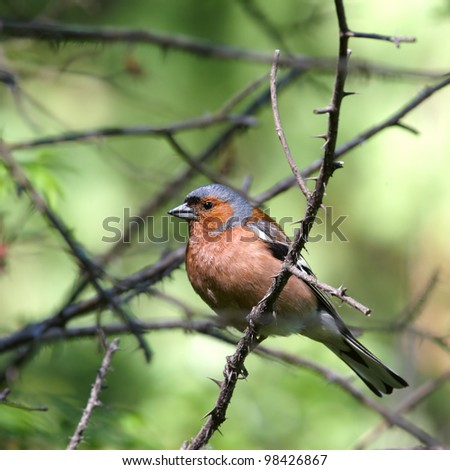 Beautiful chaffinch male in spring forest