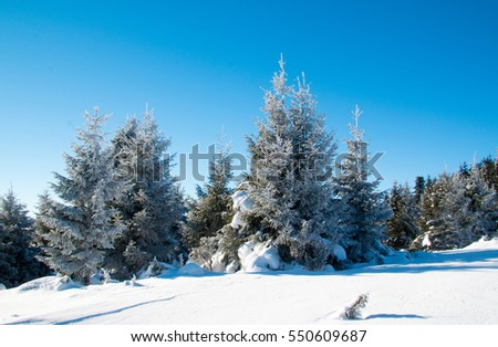 Beautiful Christmas tree covered with snow on a background of blue sky. The solar frosty weather.