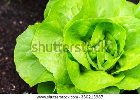 Beautiful close up of fresh and green home-grown Butterhead lettuce (Lactuca sativa) in the garden