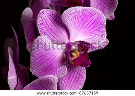 Beautiful close up of pink Orchid on black background