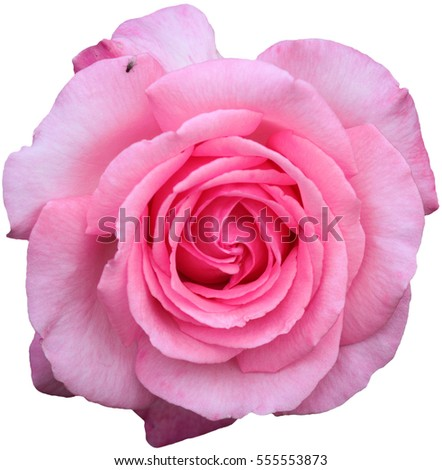 Beautiful close up pink rose isolated on white background