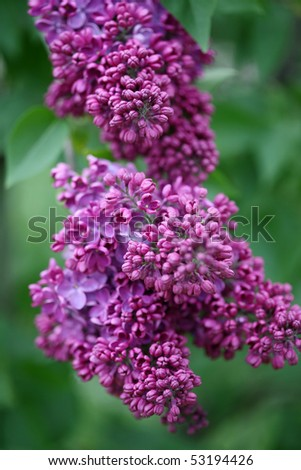 Beautiful cluster of inflorescences of a lilac in solar summer day
