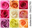 Beautiful collage of Soft roses - stock photo