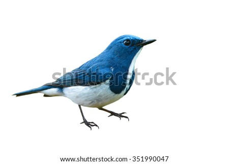 Beautiful colorful bird (Ultramarine flycatcher) on white background