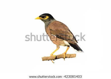 Beautiful common myna bird isolated on white background