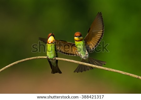Beautiful Couple of Chestnut-headed Bee-eater (Merops leschenaulti), Bird breeding, in nature of Thailand