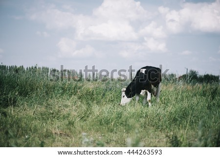 Beautiful cow in the summer farm field