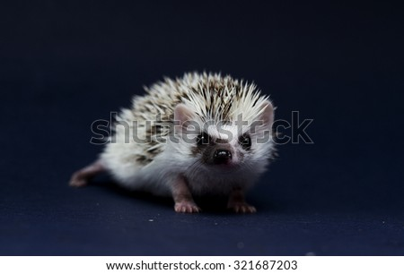 beautiful cute african pygmy hedgehog baby in dark background