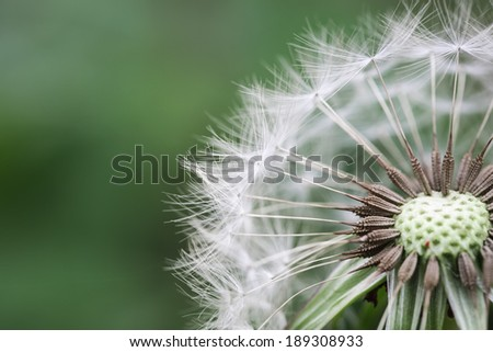beautiful dandelion closeup on the spring ,abstract background