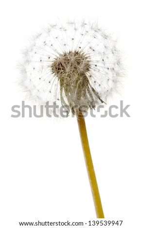 Beautiful dandelion with seeds, isolated on white