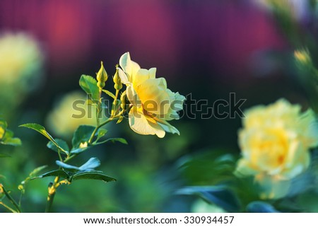 Beautiful deep yellow rose. Bright spring rose bushes in the garden