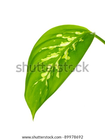 beautiful Dieffenbachia leaf isolated on white