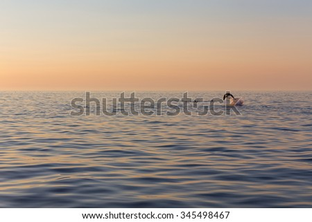 beautiful dolphin jumped from sunset sea near Rovinj, Croatia