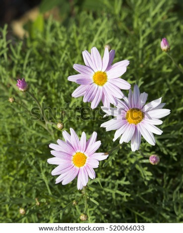 Beautiful  elegant decorative  single  candy pink   blooms of marguerite daisy species in flower  in spring  add the charm and simplicity of a cottage garden to the suburban street scape.