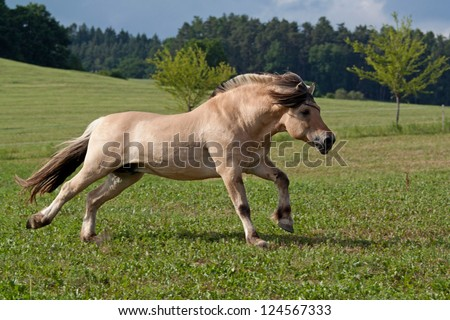 Beautiful fjord horse running on pasture