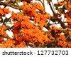 Beautiful flame of forest flowers (Butea monosperma) - stock photo