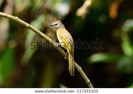 beautiful flavescent bulbul (Pycnonotus flavescens) in Thai forest