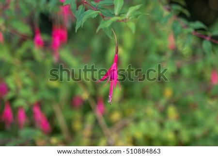 Beautiful flower fuchsia blooming in the garden. Pink and purple flowers
