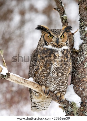 Beautiful Great Horned Owl perched in tree