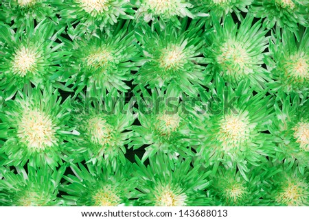 Beautiful green Chrysanthemum flowers as a background