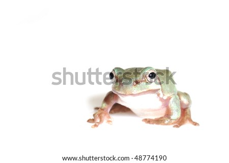 beautiful green tree frog isolated on white