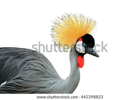 Beautiful Grey Crowned Crane bird with blue eye and red wattle on white background