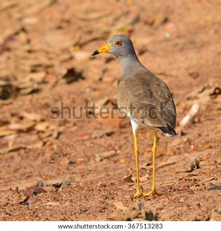 Beautiful Grey-headed Lapwing bird (Vanellus cinereus) standing on the ground.
