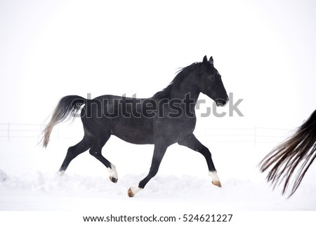 Beautiful horse running outdoor in winter