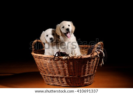 Beautiful Labrador retriever dogs in the basket