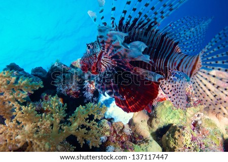 Beautiful lionfish in a reef of the Red Sea.