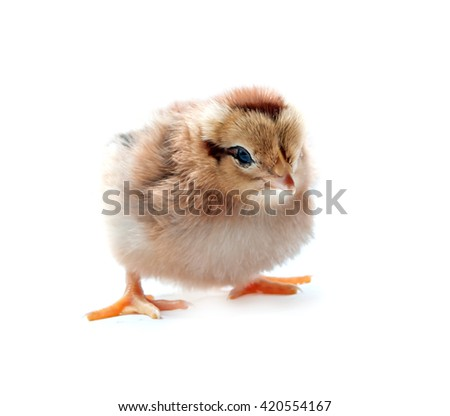beautiful little chicken isolated on the white