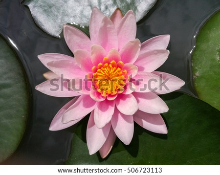 Beautiful lotus flower blossom in water