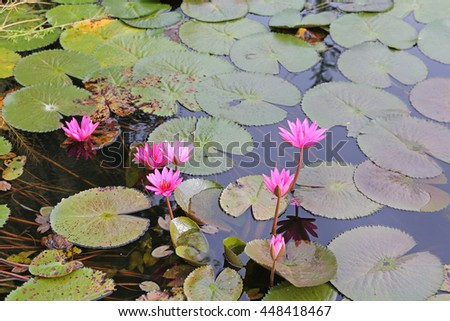 Beautiful Lotus in pond