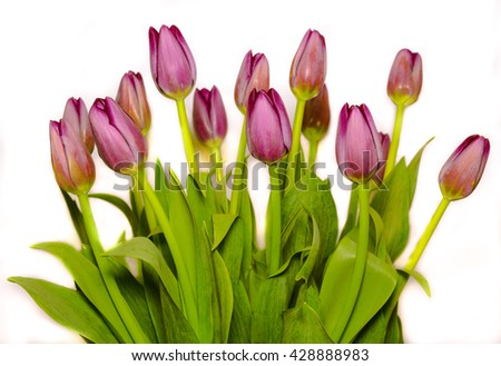 beautiful magenta tulips bouquet on white background