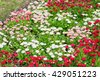 Beautiful marguerite daisy flower blooming in flower garden. - stock photo