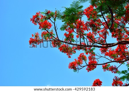 Beautiful peacock flowers with blue sky background,Thailand