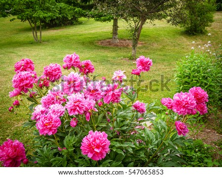 Beautiful pink carnations bush in this back yard in Sussex County, New Jersey.